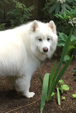 Kingsgate Kirkland home for sale - Sugar the Samoyed