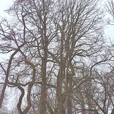 My Germany Journey - large Oak trees in Bad Zwischenahn